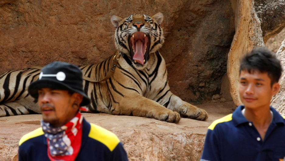 A tiger yawns before officials start moving them from Thailand's controversial Tiger Temple, a popular tourist destination run by Buddhist monks. It has come under fire in recent years over the welfare of its big cats in Kanchanaburi province, west of Ban