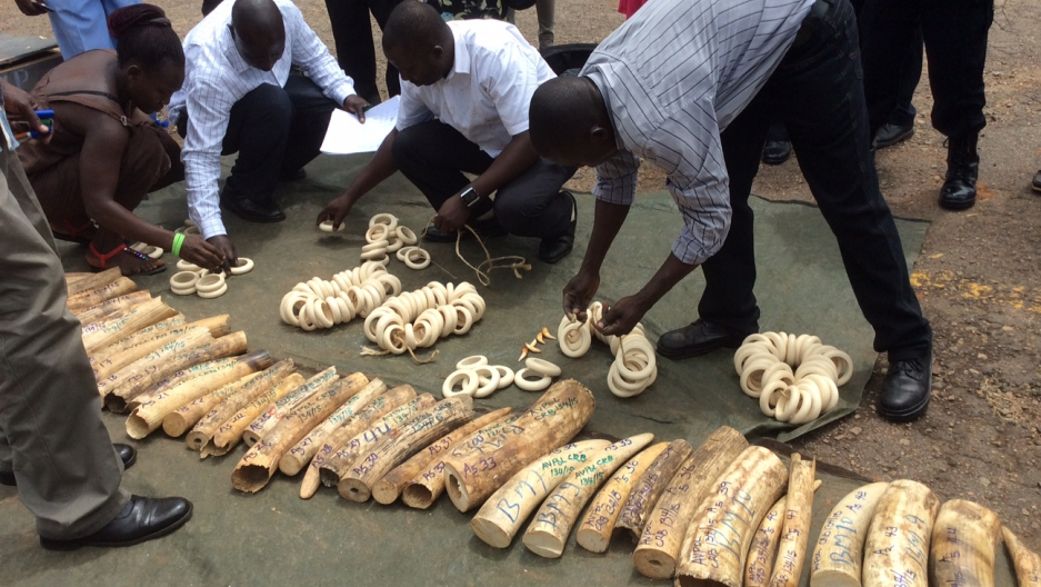 Ugandan authorities counting confiscated ivory