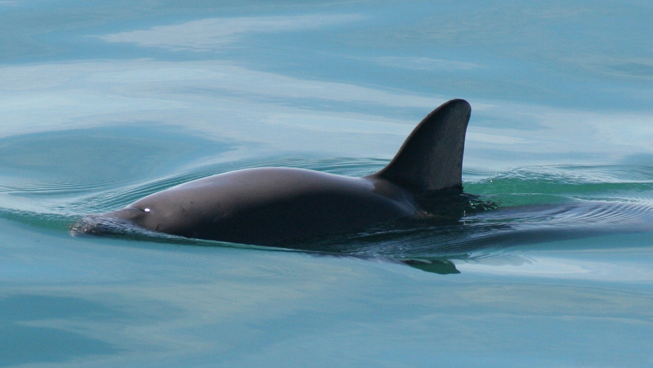 A vaquita swims in its natural habitat, somewhere in the northern part of the Gulf of California.