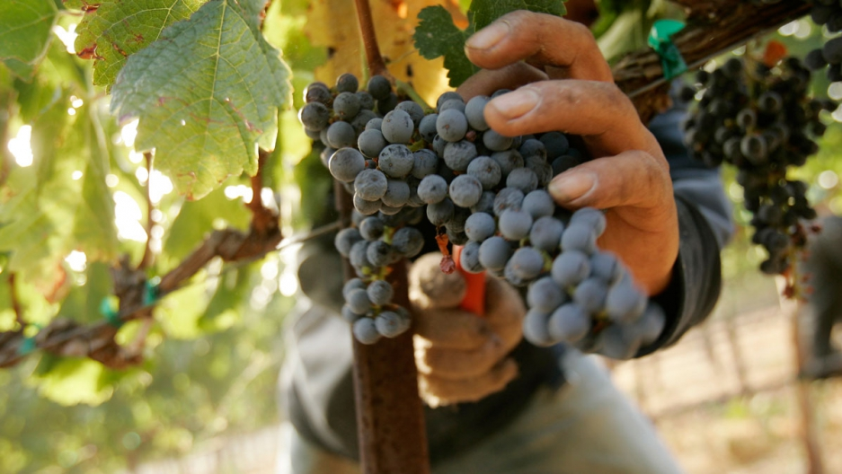 A worker pick grapes at a vineyard at a Napa Valley winery.