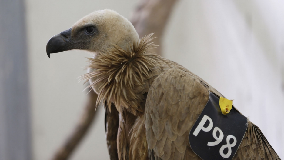 A Griffon Vulture is seen at the veterinary clinic at the Ramat Gan Safari Zoo, near Tel Aviv January 29, 2016. The vulture from an Israeli nature reserve with an Israeli identification ring and location transmitter was captured by residents of the south