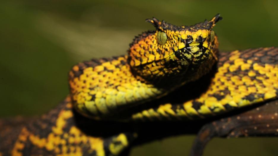 Horned viper