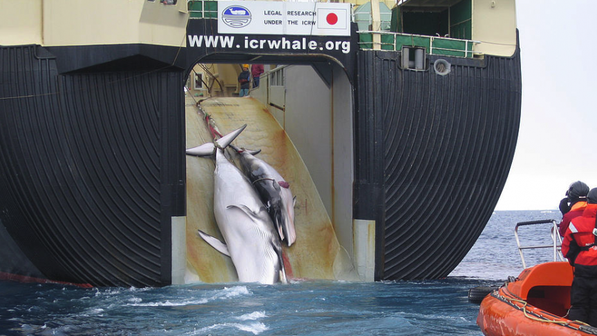 Japan kills whales