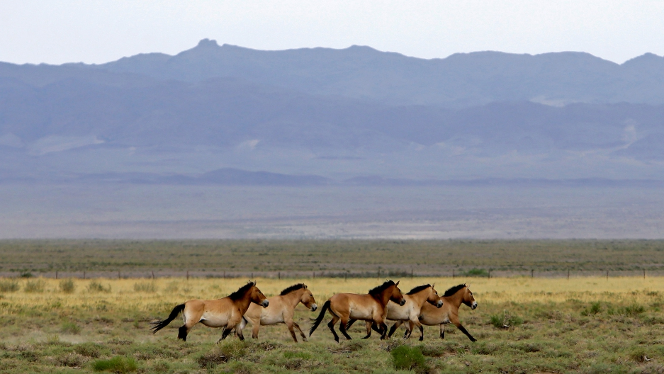 A herd of endangered Przewalski's horses trot across the Takhin Tal National Park, part of the Great Gobi B Strictly Protected Area, in southwest Mongolia, on June 22.