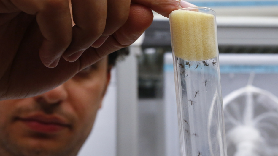 A scientist displays Aedes aegypti mosquitoes inside the International Atomic Energy Agency's insect pest control laboratory, Austria.