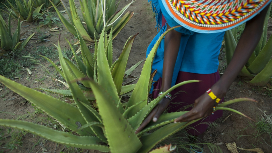 Priscilla Lekootoot shows how she harvests leaves from the aloe secundiflora plants at Twala Cultural Manyatta.