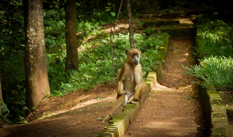 A baboon stakes out a walkway near the entrance of Tanzania's Udzungwa National Park. With human settlement at the base of the still wild Udzungwa Mountains growing fast, humans and wild animals are coming into ever more frequent contact, creating what on