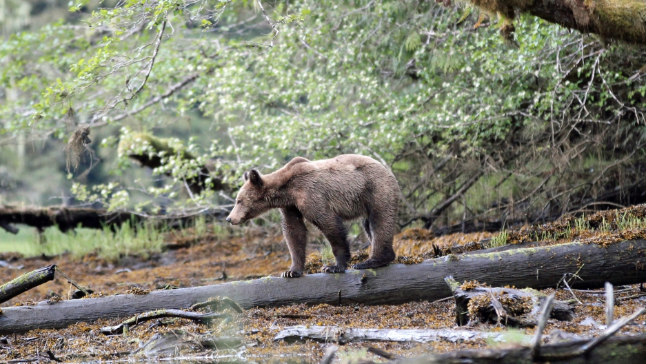 Grizzly bear cub in the Great Bear Rainforest