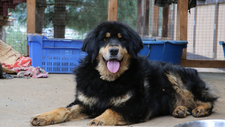 """""""Tim"""" is a street dog in Paro, Bhutan. He didn't always have such a gorgeous fur coat. He had terrible mange when a tourist rescued him. This gorgeous boy is pretty typical of the Bhutanese canine look."""