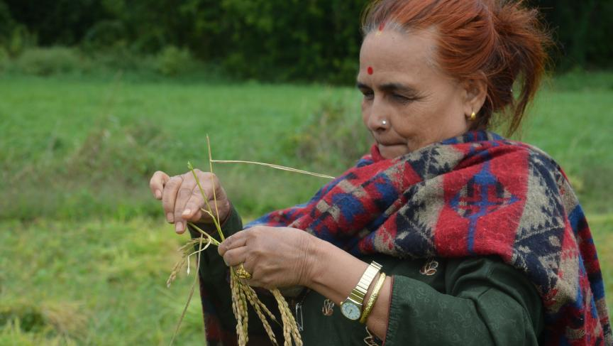 A Bhutanese woman harvesting rice by hand in a Vermont paddy.
