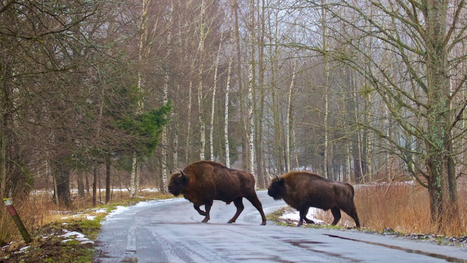 Bison in Poland forest