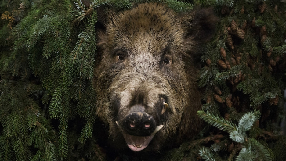in berlin learning to live with the boars