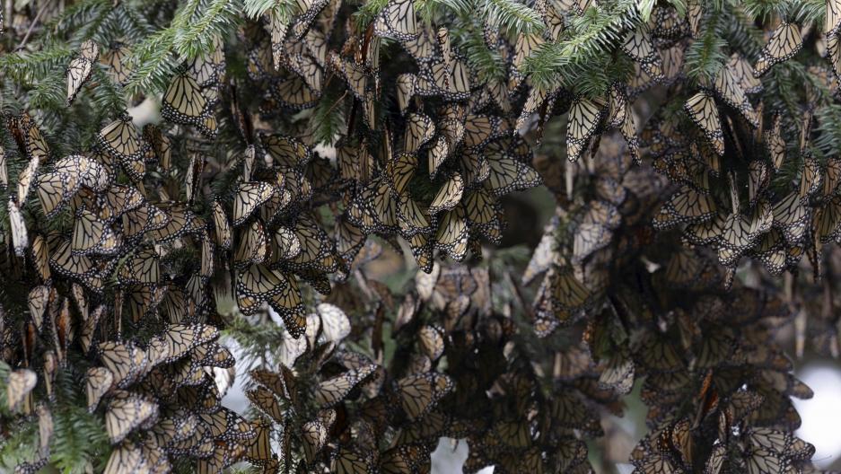 Butterflies cluster on a tree