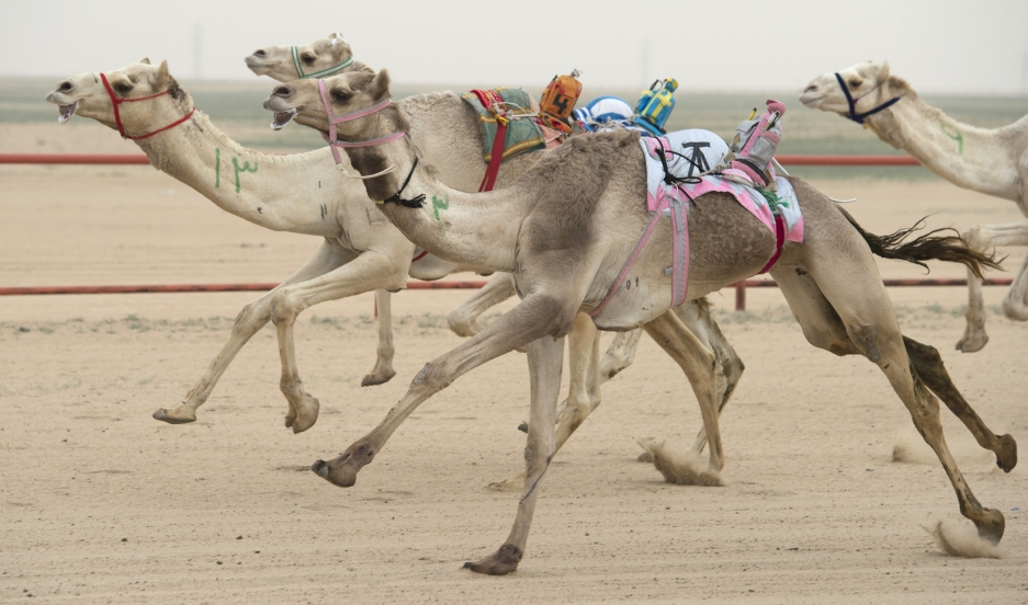 Camels ridden by robot jockeys compete during a weekly camel race at the Kuwait Camel Racing club in Kebd January 26, 2013. The robots are controlled by trainers, who follow in their vehicles around the track.