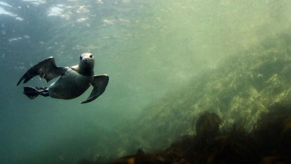 Common murre swimming