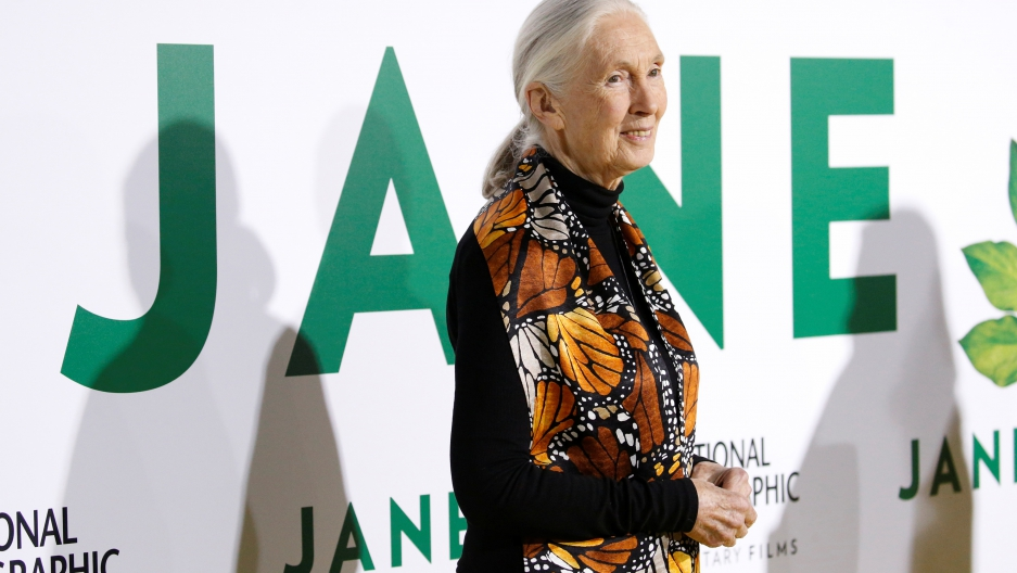 British primatologist Jane Goodall