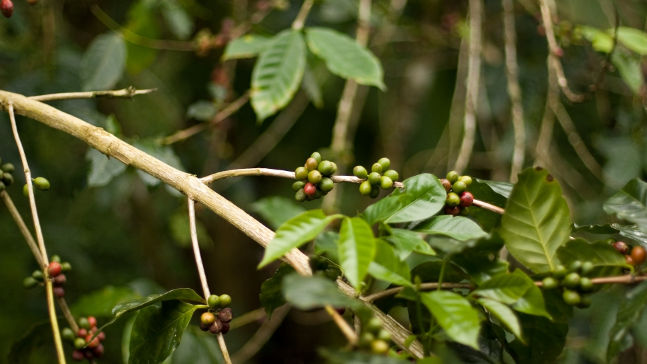 Conservationists hope building a market for local, shade-grown coffee could help restore vital but degraded scalesia forests on Santa Cruz Island, in the Galapagos.