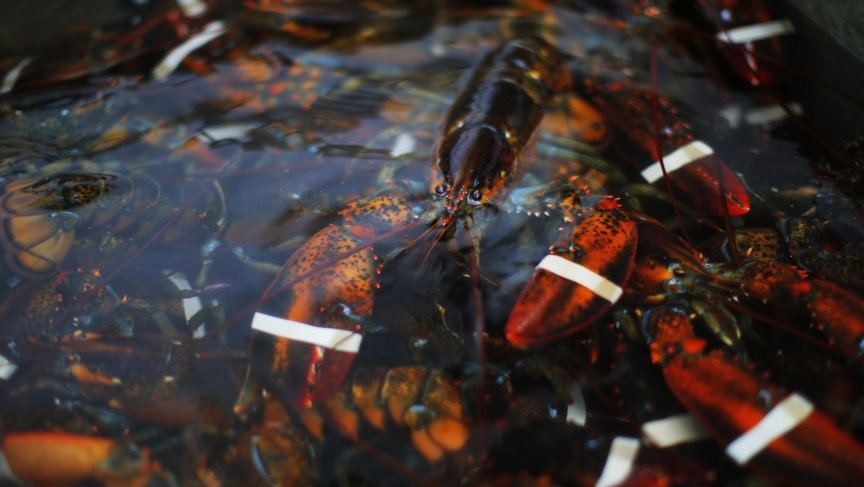 A freshly caught lobster sits in a holding tank before being delivered to a wholesaler in Portland, Maine.