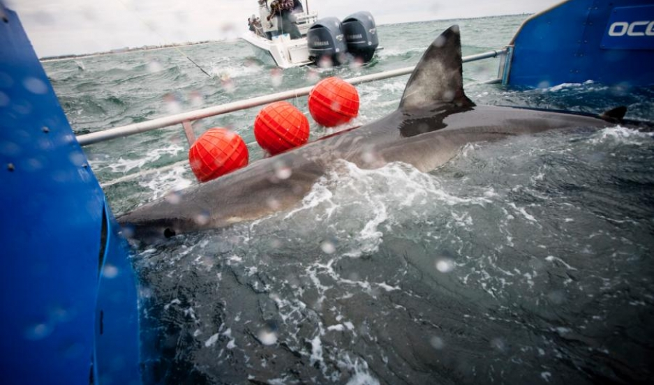 Great White Shark Lydia being tagged off the coast of Florida on March 2, 2013.