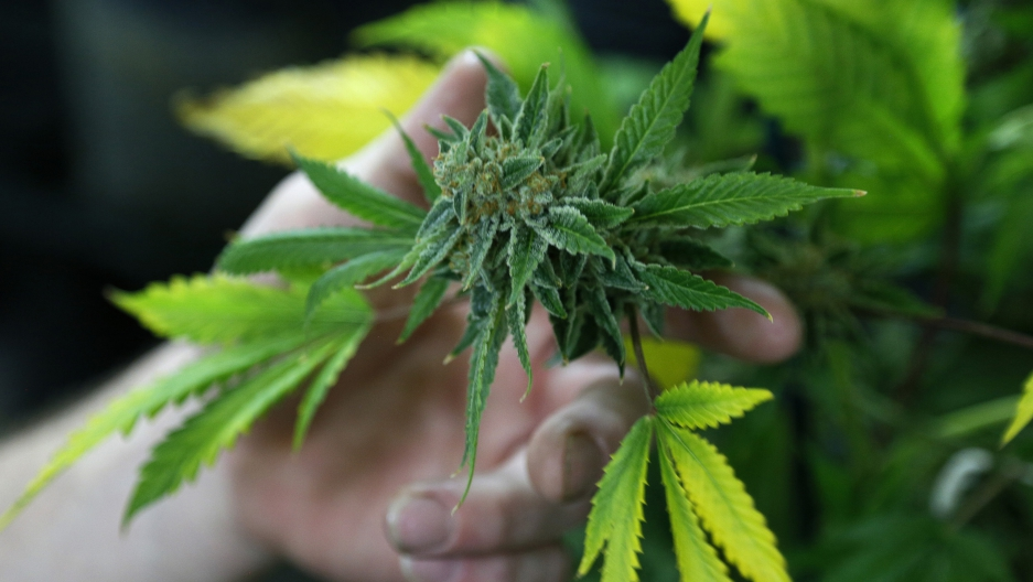 A fully budded marijuana plant