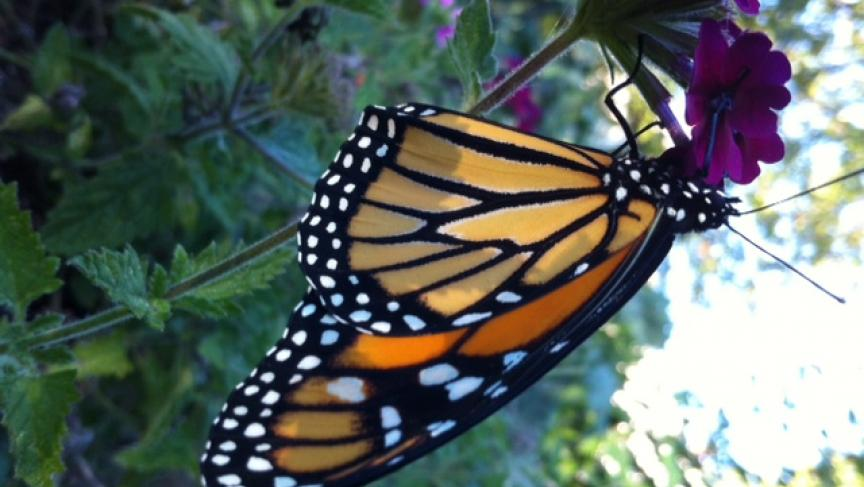 Monarch butterfly (Photo: Karen First)