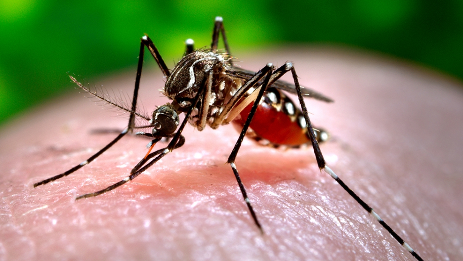 Close-up of a mosquito Aedes aegypti feeding on blood