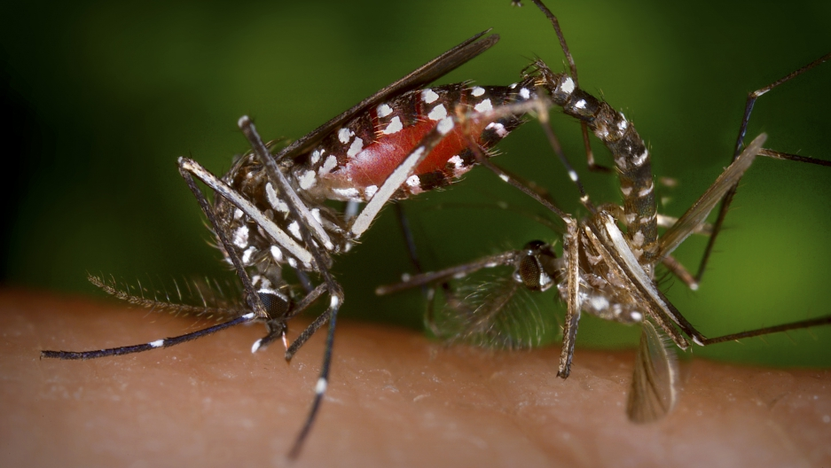 A pair of Aedes albopictus mosquitoes