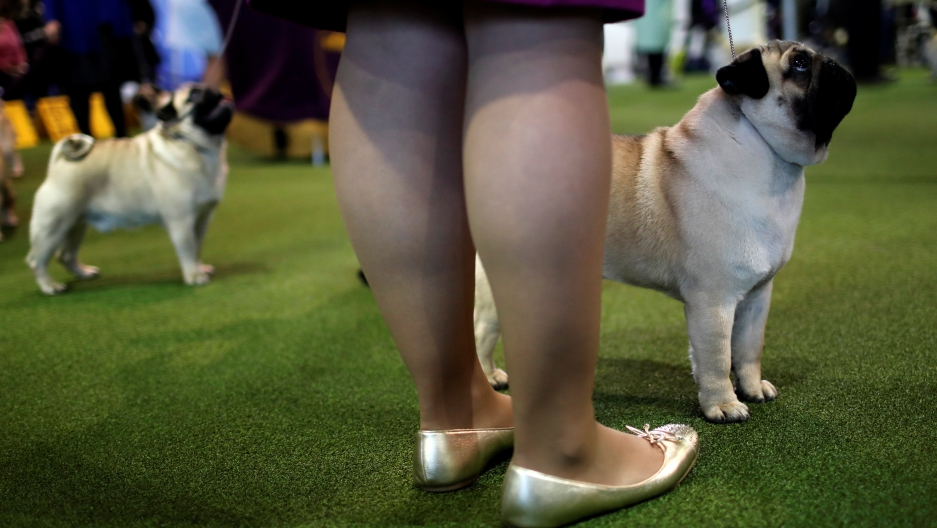 Pugs stand in the ring during competition at the 141st Westminster Kennel Club Dog Show in New York City, Feb. 13, 2017.