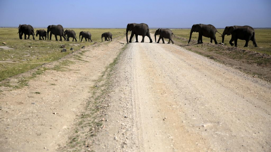 Elephants walk in Amboseli National Park, Kenya, January 26, 2015