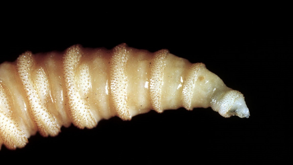 A screwworm fly larva.