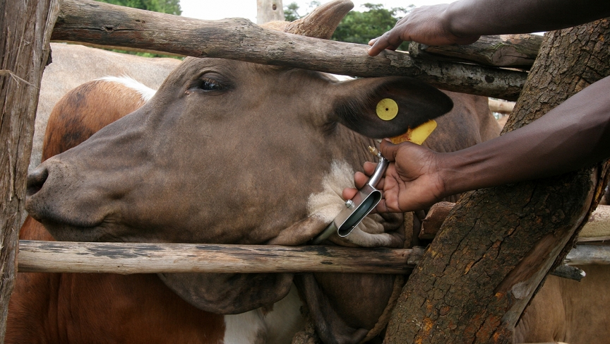 The metal casing suspended from this cow's collar contains a chemical mixture that repels tstse flies.