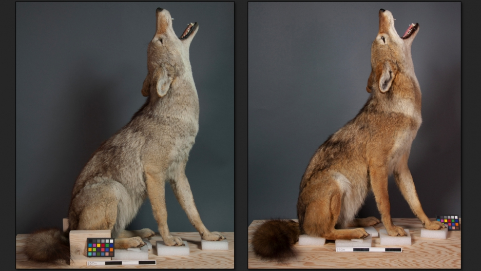 Coyote, before and after recoloring.
