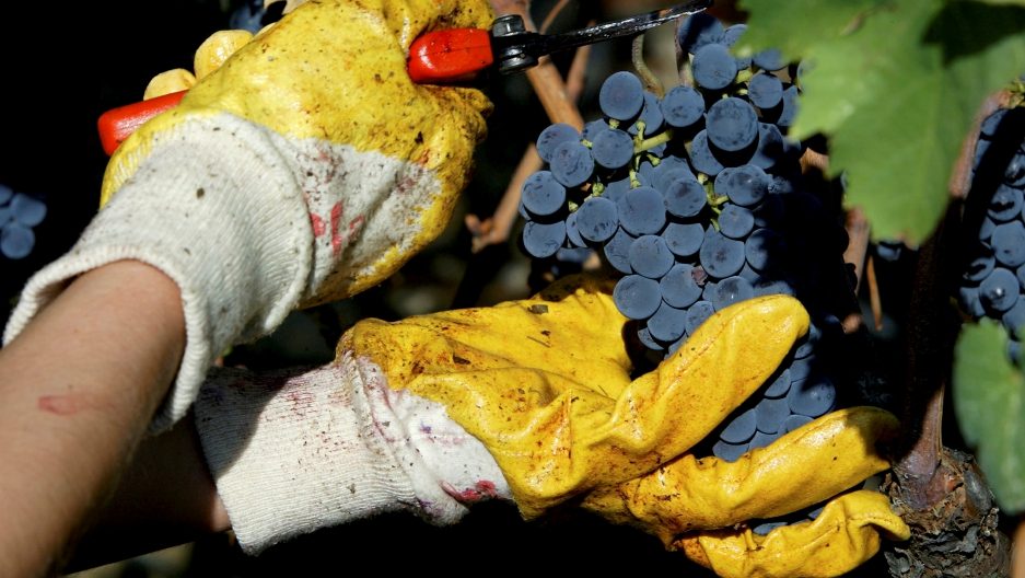A grape-picker cuts a bunch of Sangiovese grapes