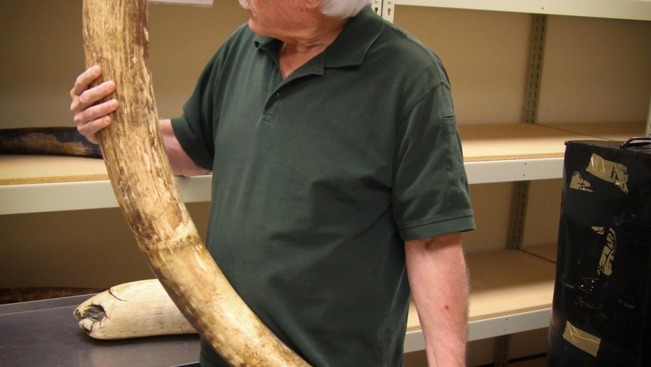 Lab director Ken Goddard holds one of 74 elephant tusks seized from traffickers smuggling ivory from Africa to China. The Forensics Lab tested dirt samples on the tusks to help narrow down their origin, as part of the investigation into who was responsibl