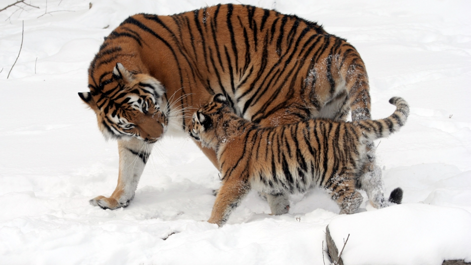 A Siberian tiger cub and its mother.