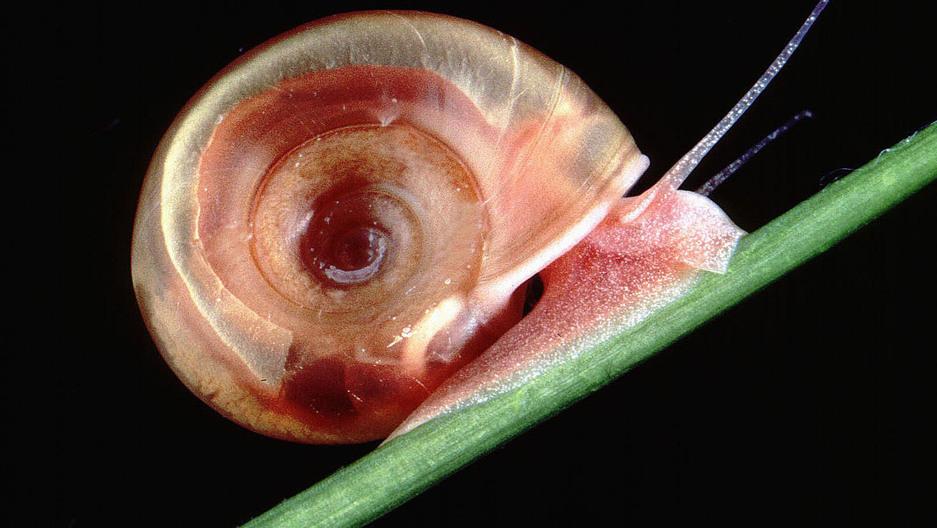 A freshwater snail