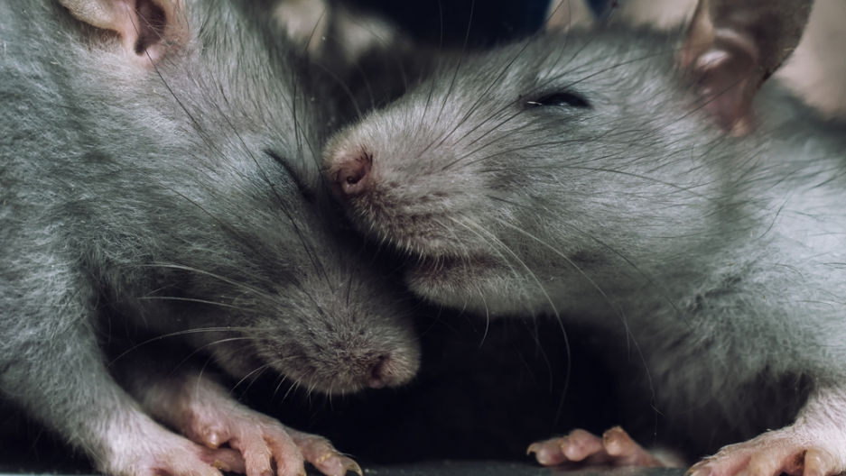 A pair of rats, from Shutterstock