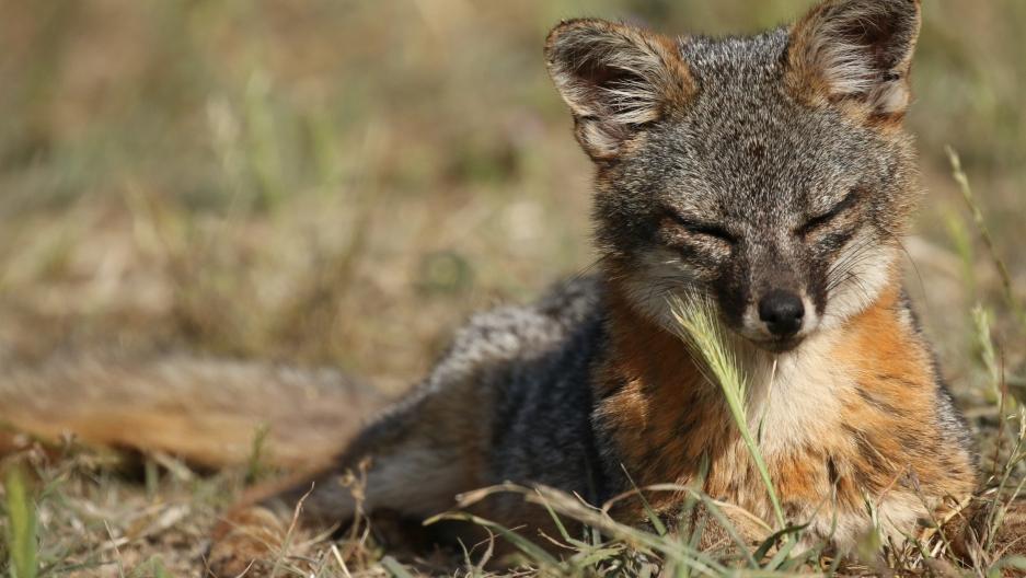 A Santa Cruz island fox.