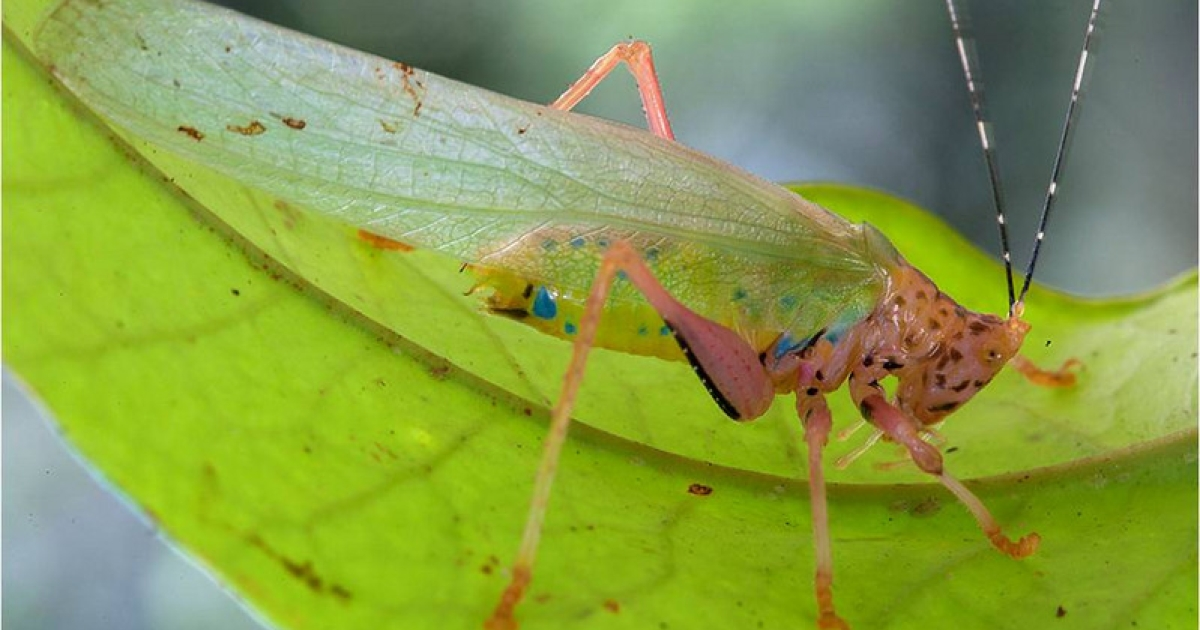 A potentially new species of cricket or katydid on a leaf in Surinam.</p>