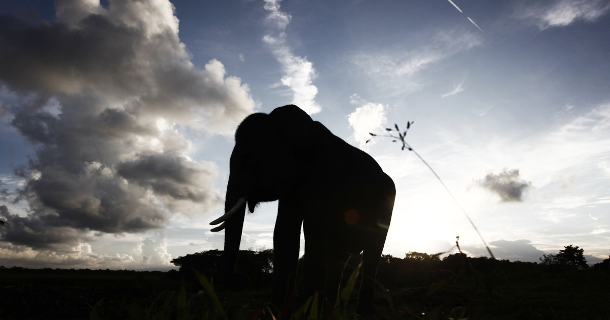 An elephant pictured in Way Kambas, Lampung, Indonesia — south of Borneo — on June 14, 2010.</p>