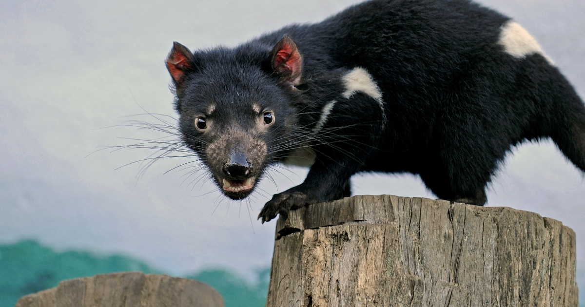 A other kind of Tasmanian Devil — this one pictured at Taronga Zoo on June 30, 2010.</p>