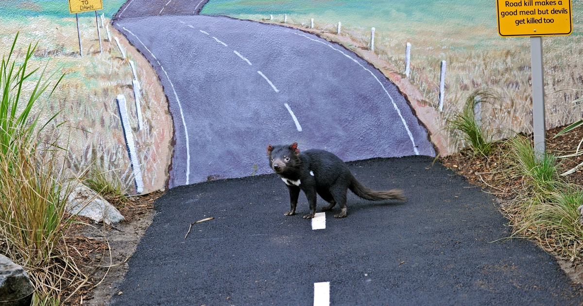 A live Tasmanian Devil (C) walks down a simulated country road at Taronga Zoo's new Tasmanian Devil Breeding Centre in Sydney on June 30, 2010. The center will play an important role in helping to save the world's largest remaining carnivorous marsupial, allowing visitors to the zoo to see conservation action, with an outdoor 'classroom' showing the difficulties the devil faces in the wild.</p>