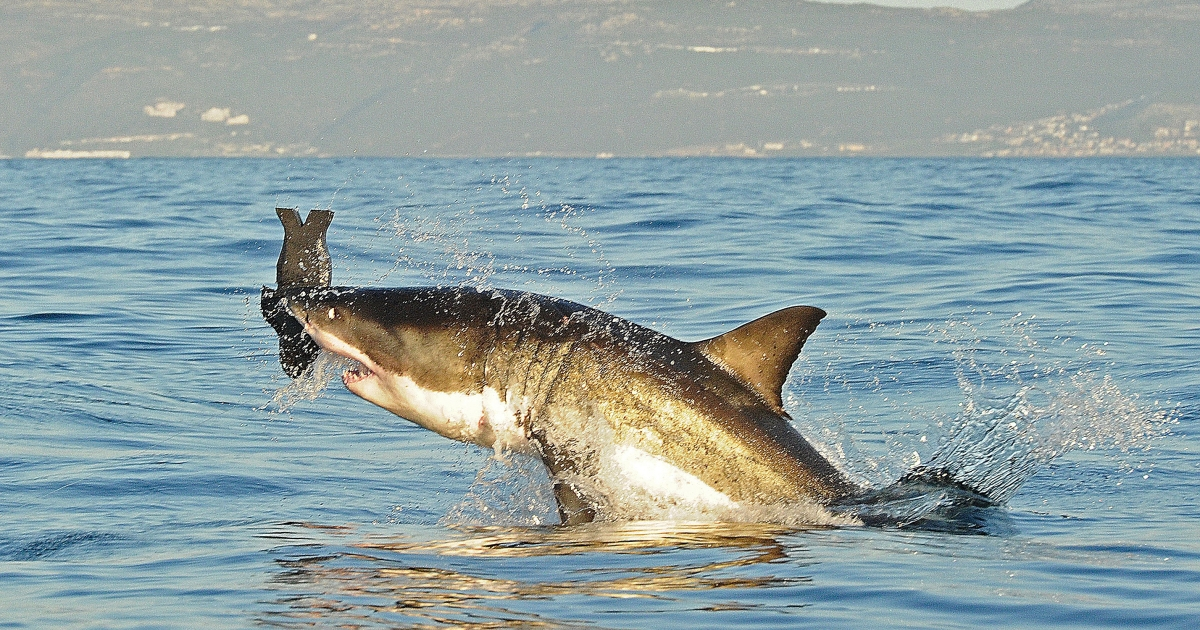 Great whites have been spotted on both coasts, causing beach closers and a few frayed nerves.</p>