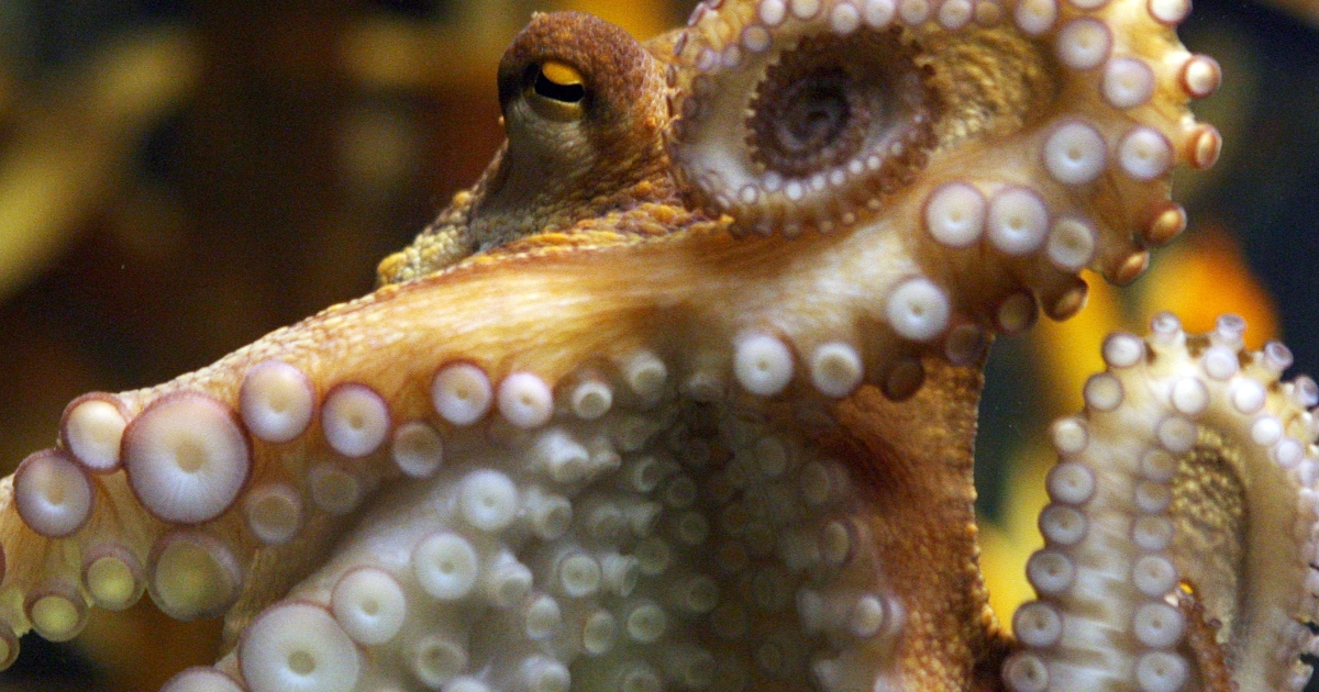 An octopus in South Africa fought fish, held on to a shark and foiled an experiment before darting off.</p>