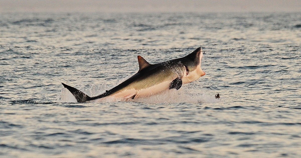 A Great White shark jumps out of the water as it hunts Cape fur seals near False Bay, on July 4, 2010.</p>