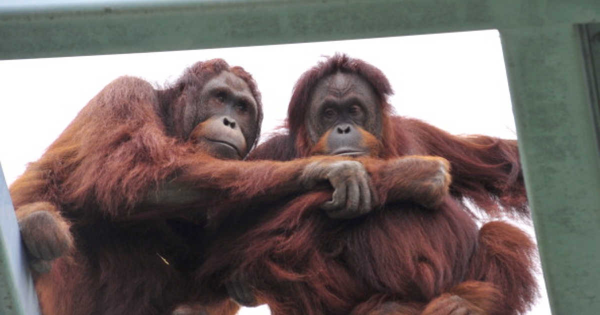 Two orangutans watch zoo goers from a perch in their habitat at the Smithsonian Institution's National Zoo on October 26, 2010 in Washington, DC.</p>