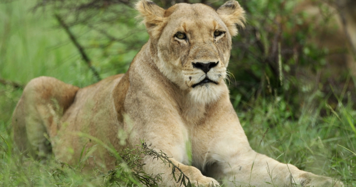 A new report warns that African savannahs are in decline taking with them the continent's lion population.</p>
