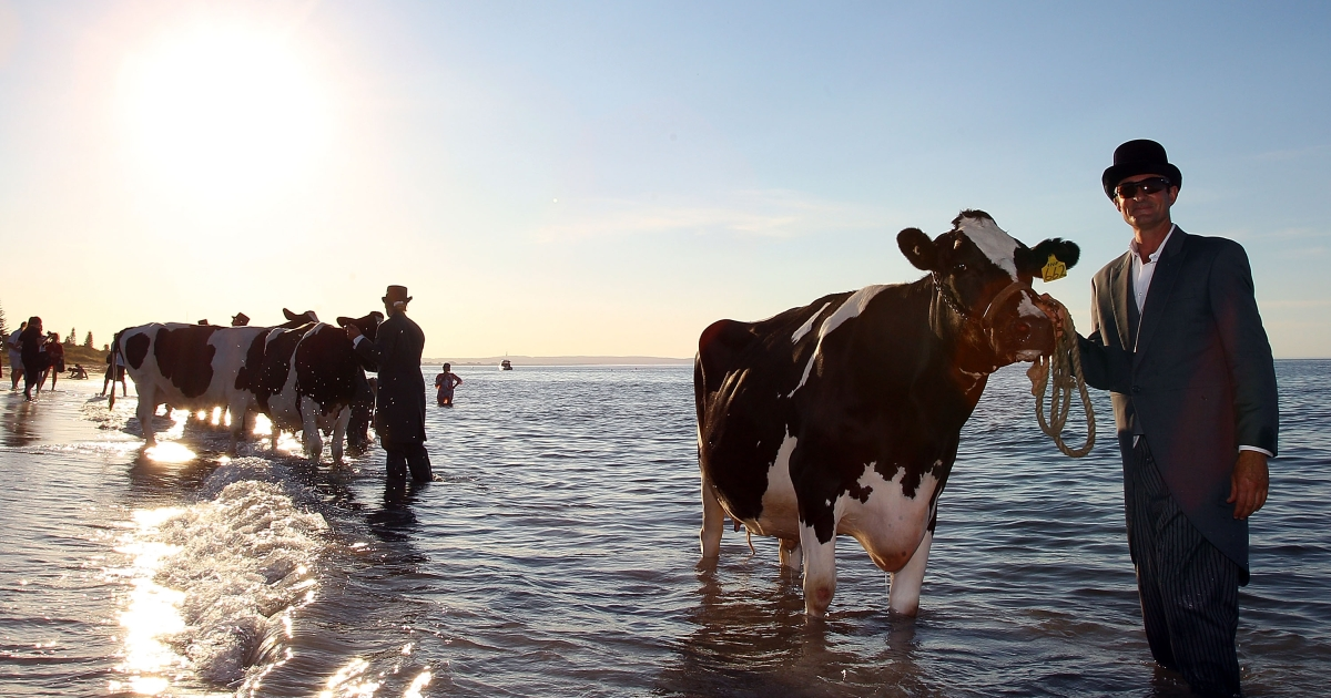 A cow and it's handler pose for Andrew Baines at Abby Beach on February 21, 2011 in Busselton, Australia. Surrealist artist, Andrew Baines, worked with South West Dairy Farmers on a regime to prepare the cows to stand in the ocean for up to ten mintues to complete his installation.</p>
