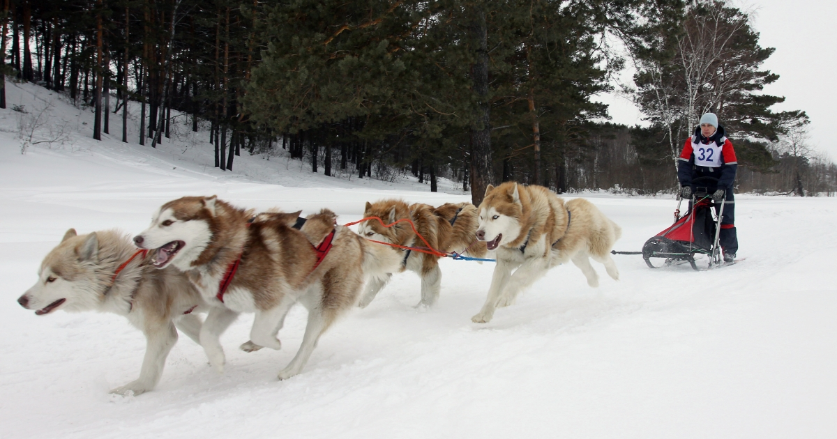 A Russian musher drives a team of Alaskan malamute sled dogs during a race outside of Kemerovo on March 19, 2011.</p>
