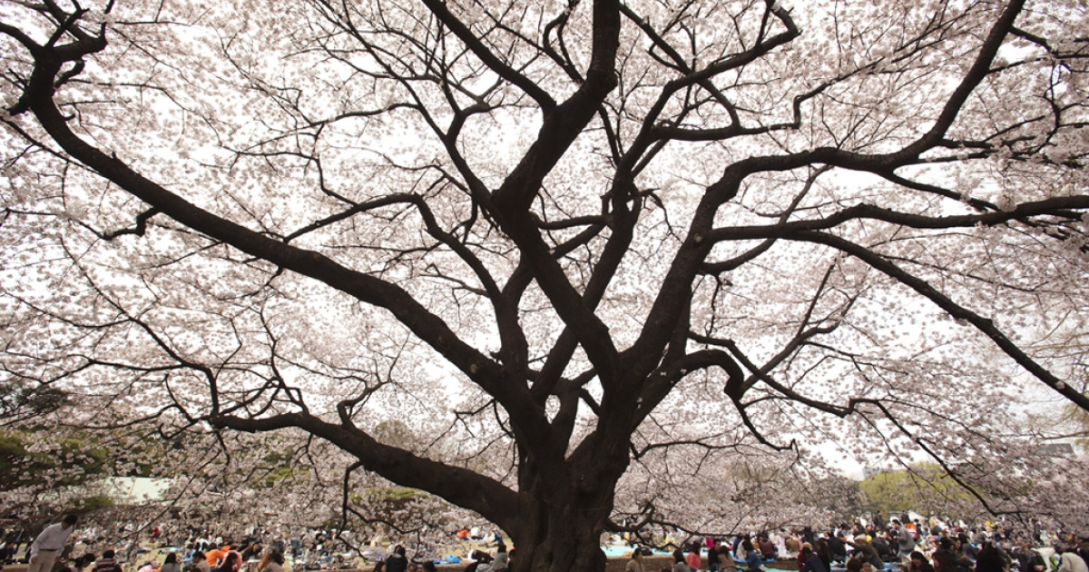 Visitors gather under cherry blossoms trees at Shinjuku Gyoen National Garden on April 10, 2011 in Tokyo, Japan.</p>